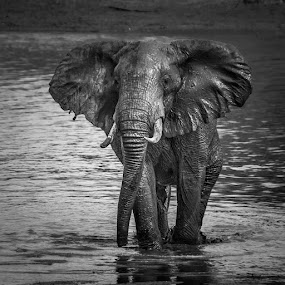 Elephant by Joggie van Staden - Animals Other Mammals (  )
