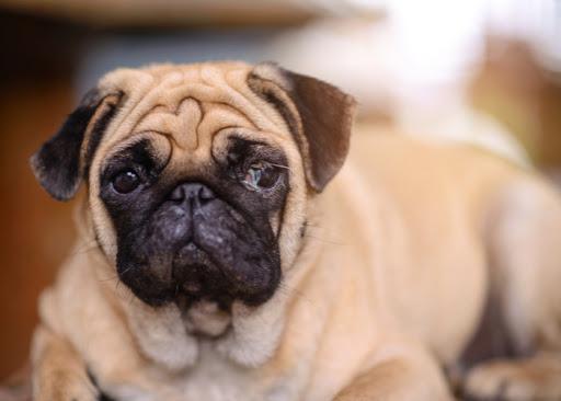 Eye Boogers in Dogs! aka Dog Eye Discharge, Causes & Treatments
