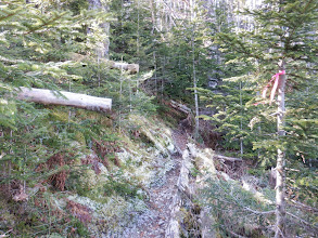 シラビソ林も倒木多く