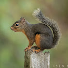 Douglas squirrel