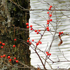 Holly/Winterberry