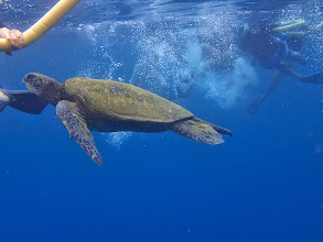 Photo: A sea turtle coming up for air.