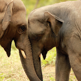 Two Brothers! by Balaji Mohanam - Animals Other Mammals ( elephants, bulls, bonding, tuskers, brothers )