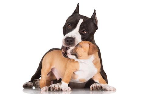 Pitbull Puppies Wallpaper Free
