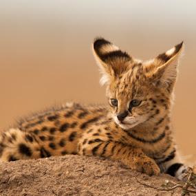 Serval Kitten by Ken Dyball - Animals Other ( masai mara serval kitten ant hill kenya baby cute )