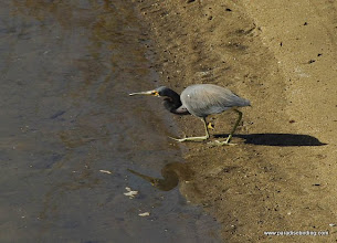 Photo: Tricolored Heron near Nuevo Vallarta