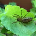 Dimorphic Jumping Spider, female