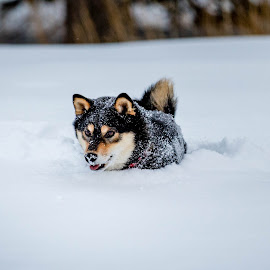 Winter Fun by Chad Roberts - Animals - Dogs Playing ( snow, deep snow, winter, playing, cold, dog,  )
