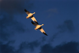Photo: Snow geese in flight, Bosque del Apache NWR, NM, USA
