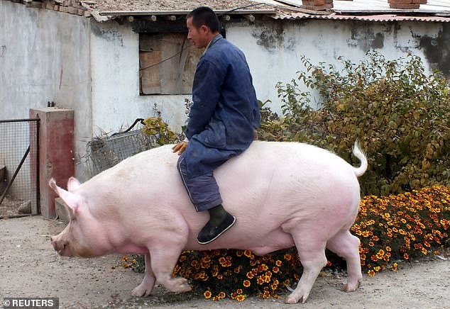 Large pig in China ( source: Reuters )