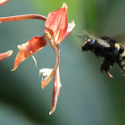 Eulaema Orchid bee