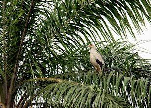 Photo: Buitre palmero (Gypohierax angolensis)