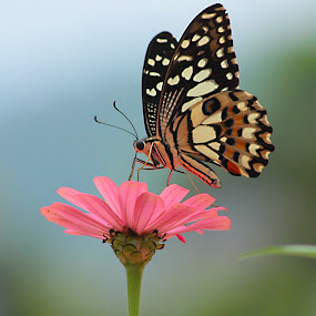 Lunch Lunch  by Hindra Komara - Animals Insects & Spiders ( butterfly, macro, nature, macro photography, insect,  )