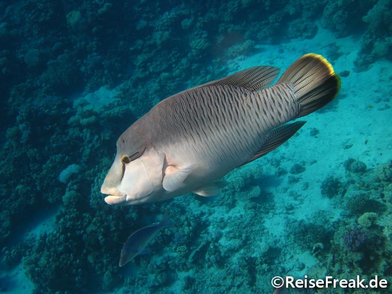 Napoleon-Lippfisch (Cheilinus undulatus)