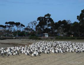 Photo: California Gulls; northern San Diego County coast