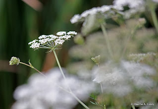 Photo: Milk parsley (Peucedanum palustre)