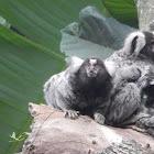 White-tufted-ear marmoset
