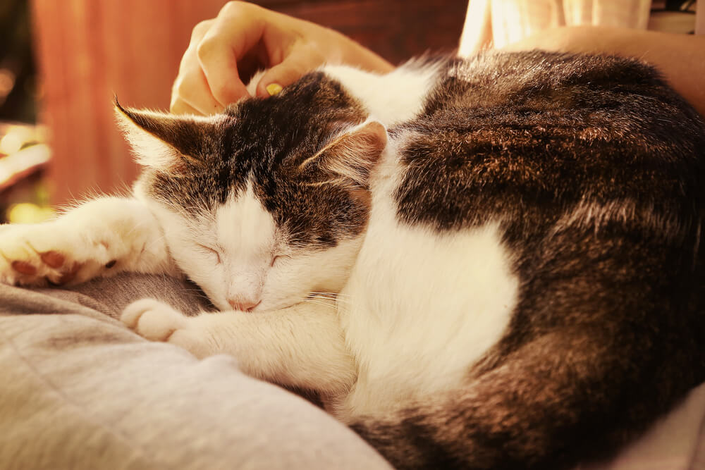 cat sleeping on owner's laps