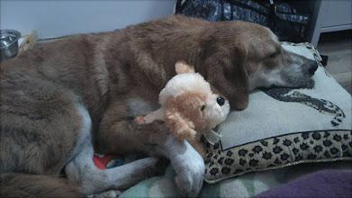 Photo: Sabinka w nowym domku :) miała spać na legowisku, ale oczywiście śpi na łóżku ;)