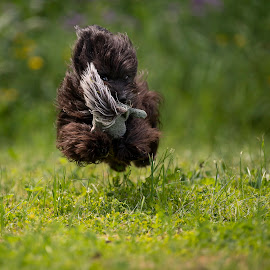 Charlie with his favorite toy by Ronnie Bergström - Animals - Dogs Running ( running, green, sweden, grass, sunset, dogs, bichon, summer, jump, flower, toy )