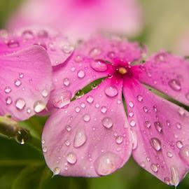 Rosy Periwinkle Flowers by Shariq Khan - Flowers Flower Arangements ( pink, flowers, dew drops, flora, flowers of india, garden, rosy periwinkle, pink flower )