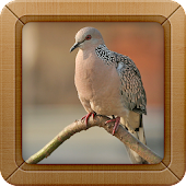 Spotted Dove Bird Sounds