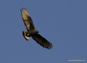 Photo: Zone-tailed Hawk coursing over Peso Island near San Blas