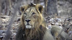 India's Wandering Lions thumbnail