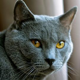 Hugo de Ventadour* Chartreux by Serge Ostrogradsky - Animals - Cats Portraits (  )