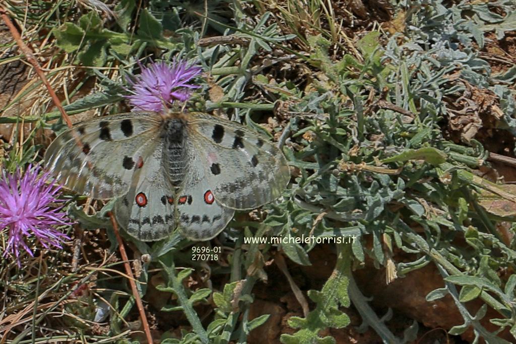 Parnassius apollo ssp siciliae