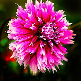 Dalhia n000256 by Gérard CHATENET - Flowers Single Flower