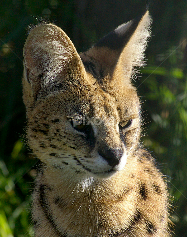 by Linda Jansen van Rensburg. - Animals Lions, Tigers & Big Cats
