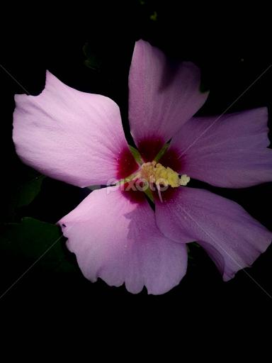 Lavender Beauty | Single Flower | Flowers | Pixoto