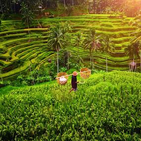 Ubud Rice Terrace Fields by Hendri Suhandi - Landscapes Prairies, Meadows & Fields ( terrace fields, bali, ubud, rice fields )