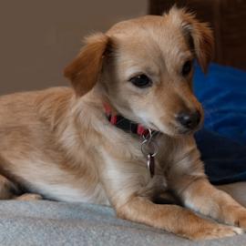 My New Bestie by Jeanine Akers - Animals - Dogs Portraits ( resting, puppy, animals, portrait, dog )