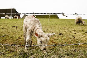 Photo: Schafe und Lämmer #1