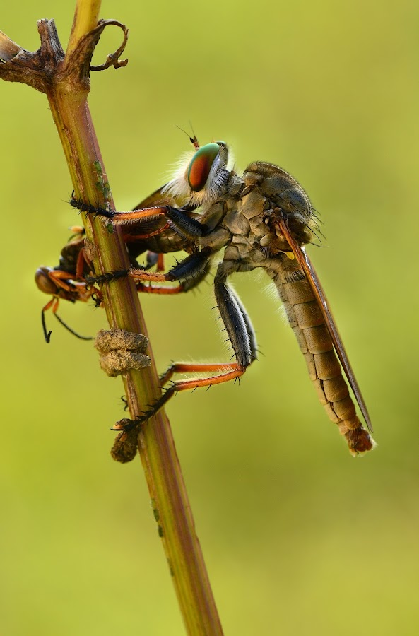 lunch by Girdan Nasution - Animals Insects & Spiders ( #makro #indonesia #insect )