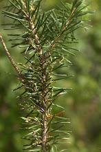 Photo: Mistletoe on Douglas Fir