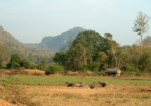 Photo: Buffalos, paddy field and a farm hut before entering Thipogui village, Umphang