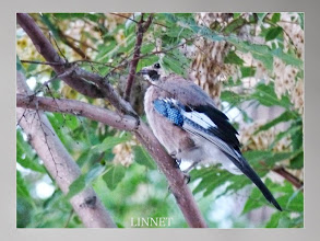 Photo: カケス Eurasian Jay