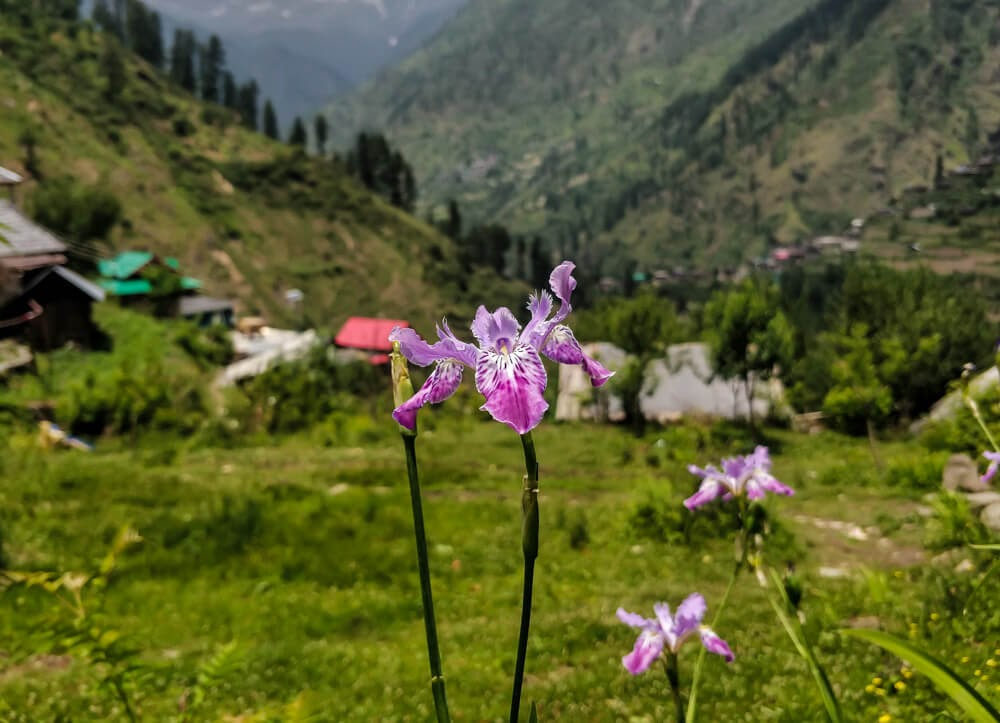 flower+shilha+village+sosan+parvati+valley+himachal