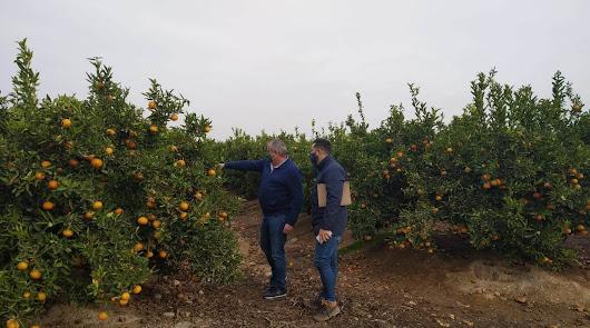 Campo de naranjos en Cuevas del Almanzora.