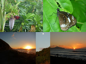 Photo: Ta'u, AS - June 21, 2013 - [tl] Bananas and mangos are everywhere  [tr] I saw very few large butterflies - they are mostly small  [btm] Sunset over Ofu and Olosega islands.  A near full moon tonight.