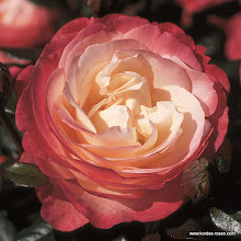 Photo: Edelrose Nostalgie®, Züchter: Rose-Tantau 1996