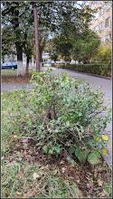 Photo: Gutui Japonez (Chaenomeles japonica) - din Turda, de pe Calea Victoriei,Nr.19-21, spatiu verde - 2018.10.26