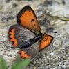 Small Copper (Aberration Bipunctata)