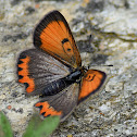 Small Copper (Aberration Bipunctata)