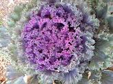 Photo: Ornamental cabbage