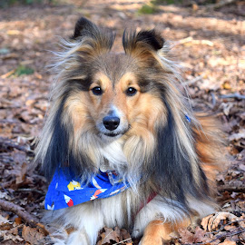 Benji in Keston Woods by Fiona Etkin - Animals - Dogs Portraits ( canine, loyal companion, nature, pet, shetland sheepdog, dog portrait, dog, woods, sheltie, animal,  )