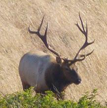 Photo: Tule Elk bull, Tomales Pt., Pt. Reyes